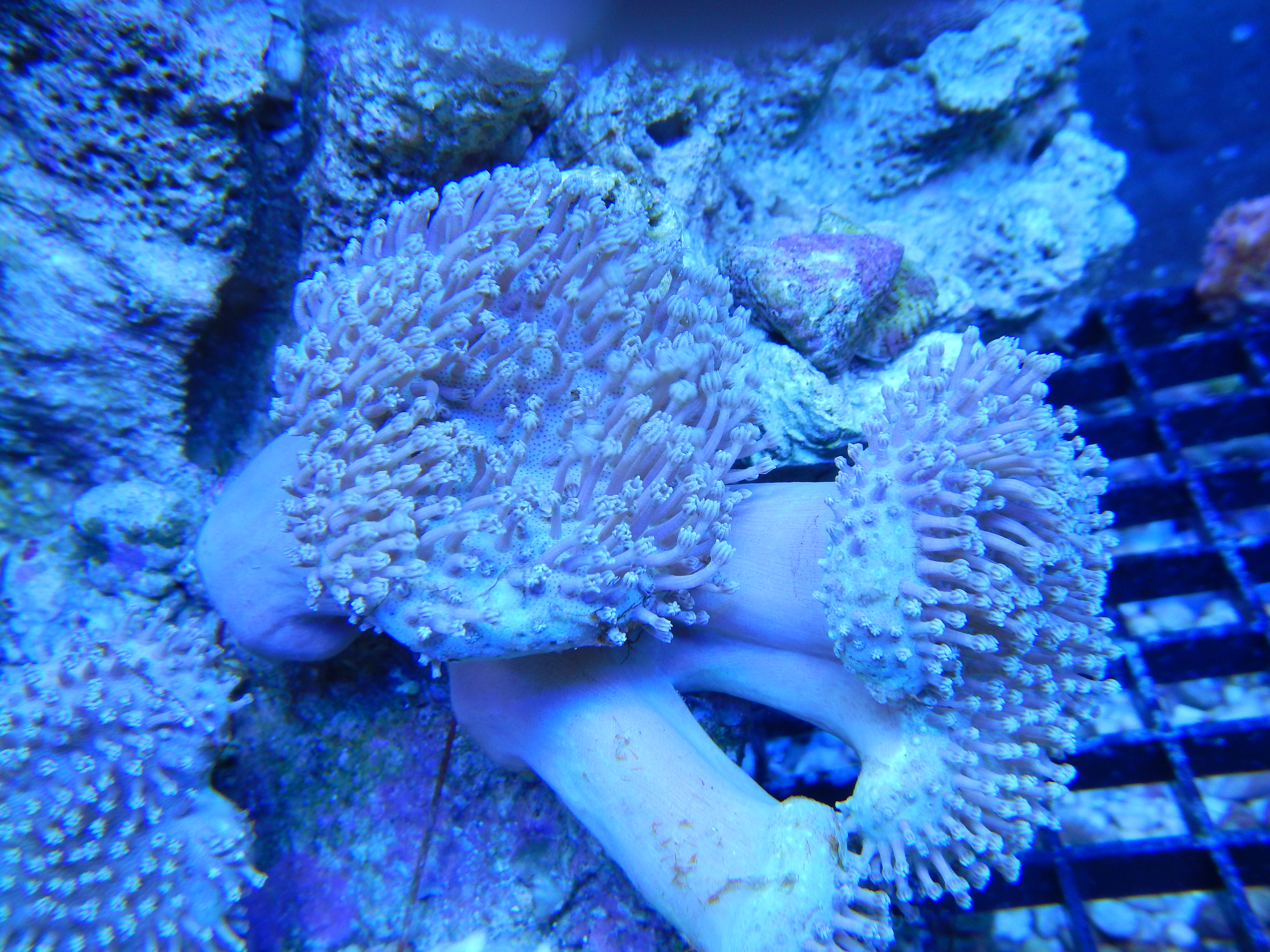 Pin Sps Lps Soft Corals Mushrooms on Pinterest