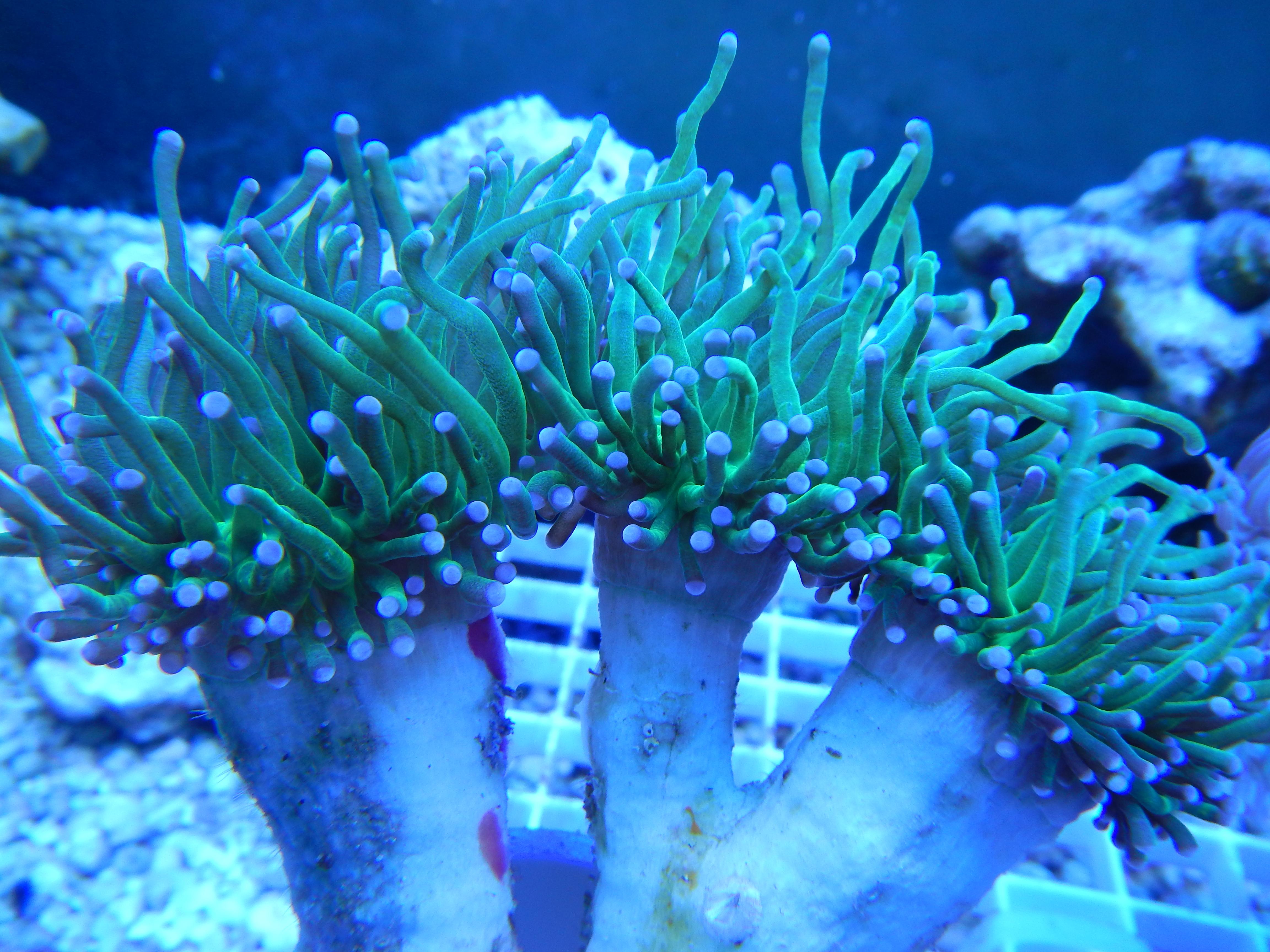 Yellow Sun Coral Tubastraea aurea Golden Cup Coral