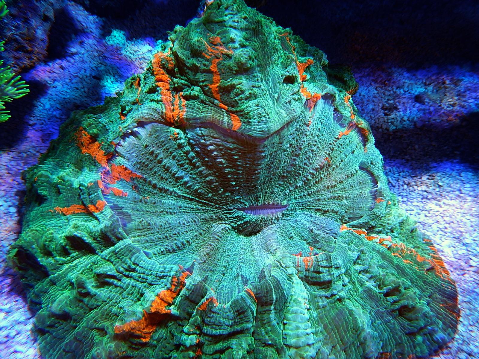 Miami Hurricane Coral Miami Hurricanes Meat Coral